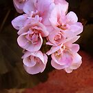 new geraniums by califpoppy1621