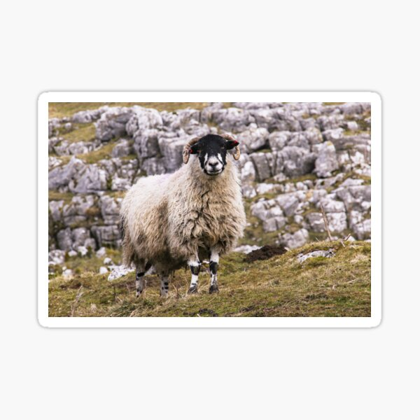 Dalesbred Sheep Sticker