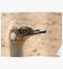 Portrait of an  ostrich Poster
