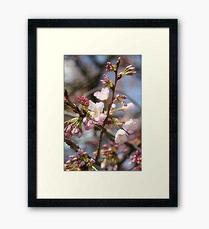 DC Spring - The Cherry Blossoms II Framed Print