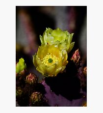 Prickly Pear Cactus  Photographic Print