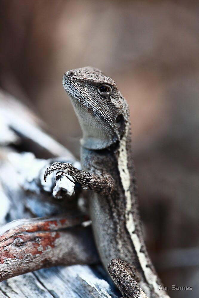 Lizard at Hanging Rock  by Ann Barnes