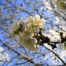 Tree Blossoms by debbiedoda