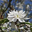 Star Magnolia by Butterfly2008