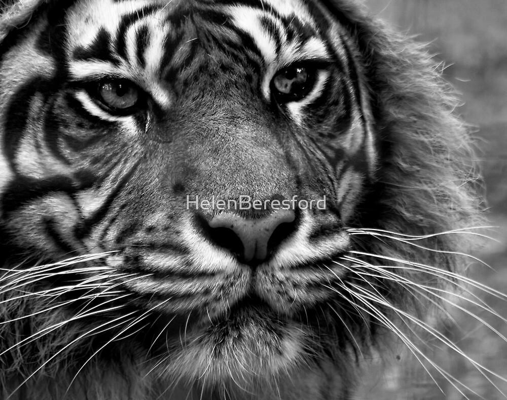 Tiger Portrait by HelenBeresford