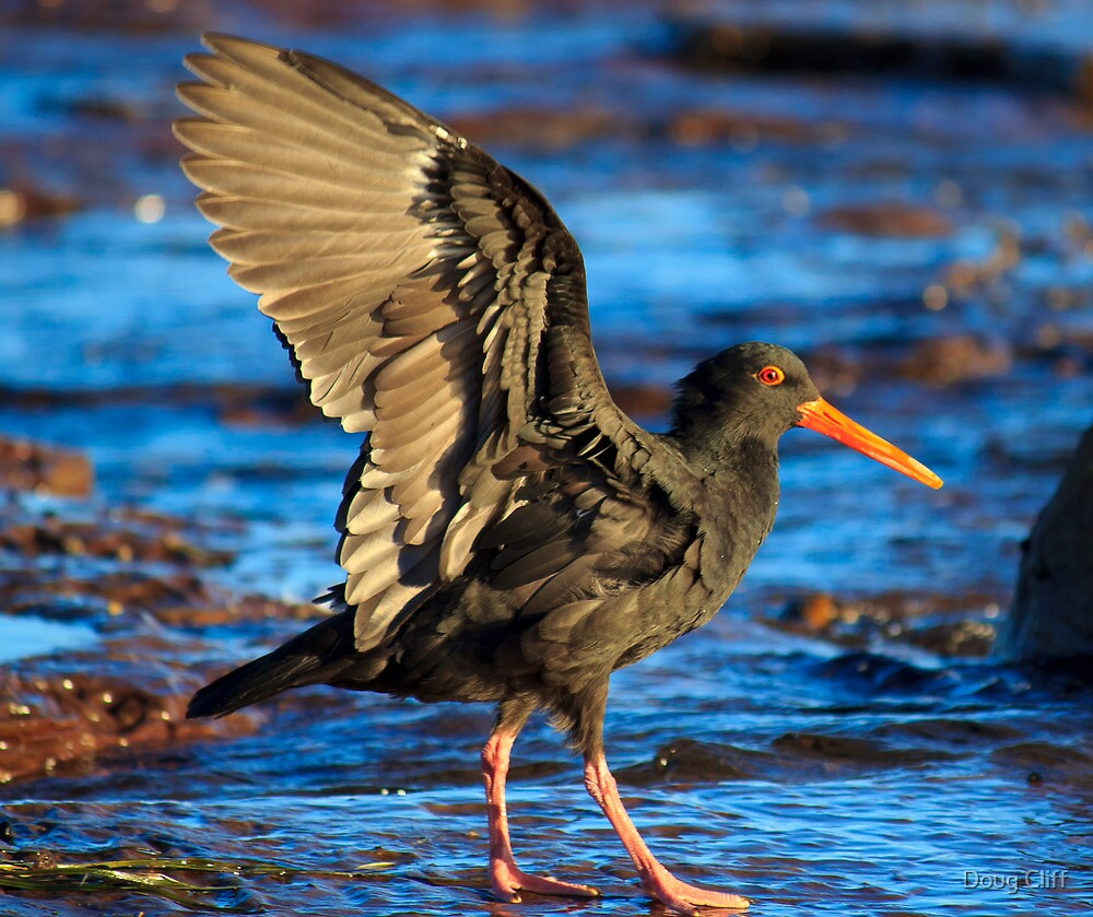 Oyster Catcher by Doug Cliff