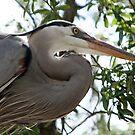 Great Blue Heron No.4 by Sheryl Unwin