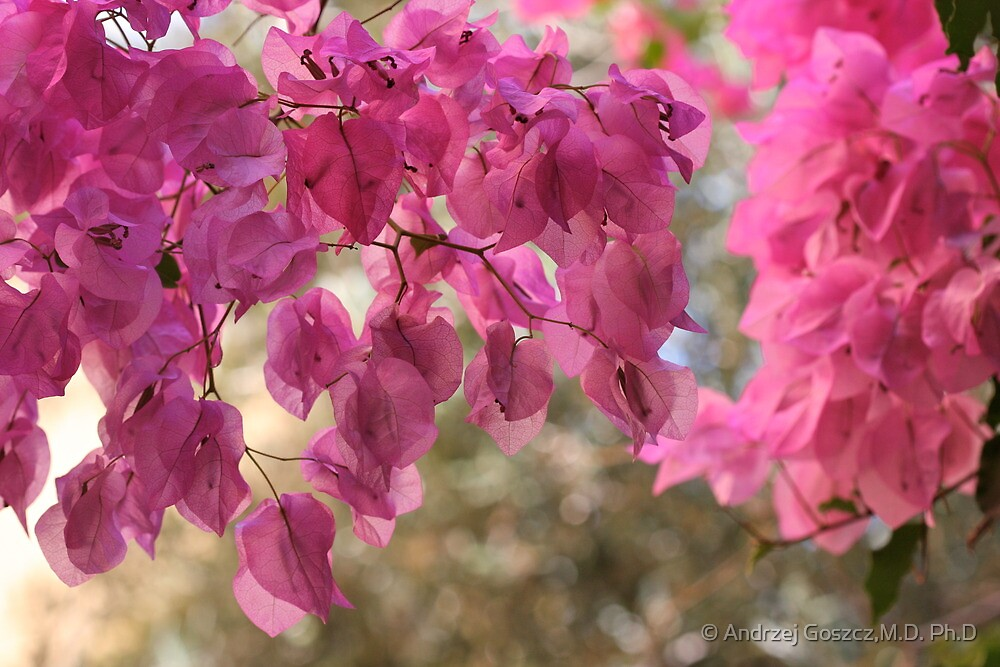 Bougainvillea  is a genus of flowering plants native to South America from Brazil . by Brown Sugar. Views - 366. by © Andrzej Goszcz,M.D. Ph.D