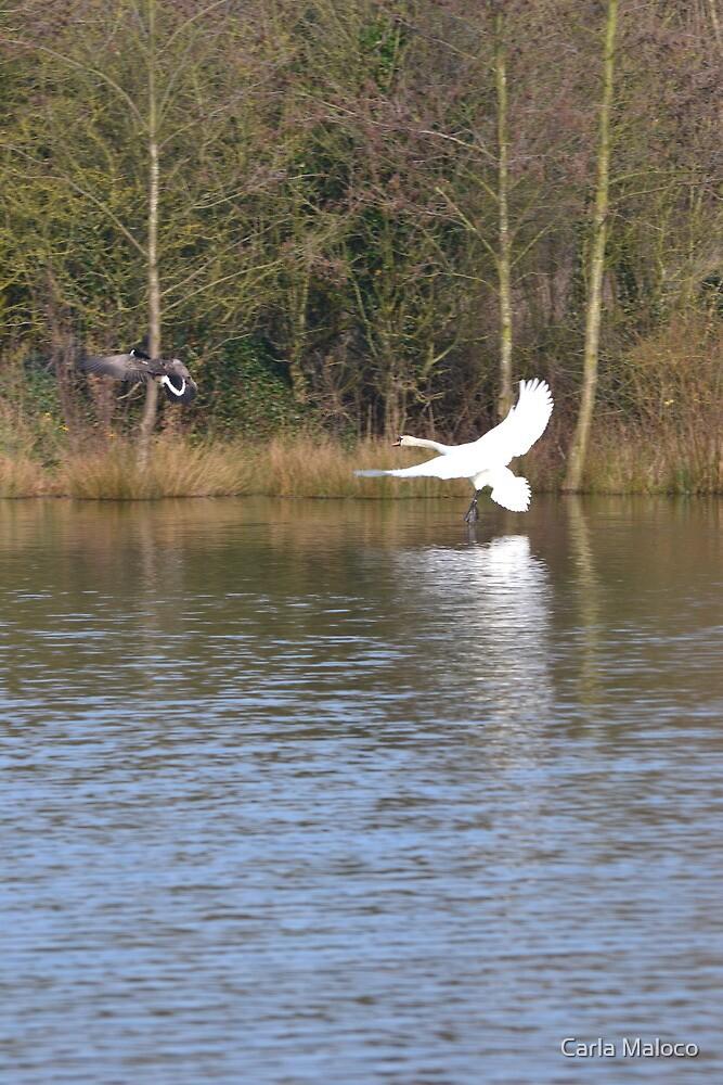 Swan Lake by Carla Maloco