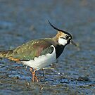 Adult Male Lapwing by Robert Abraham