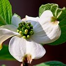 Dogwood by Phillip M. Burrow
