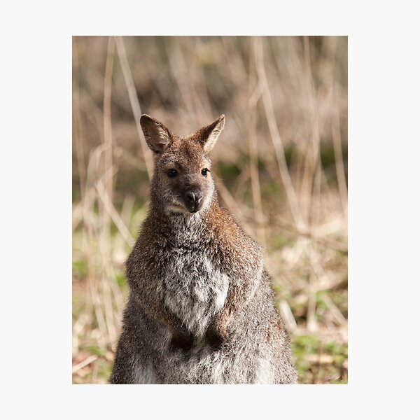 Wallaby Photography Photographic Print