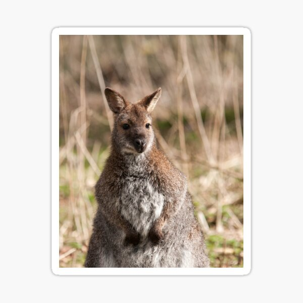 Wallaby Photography Sticker