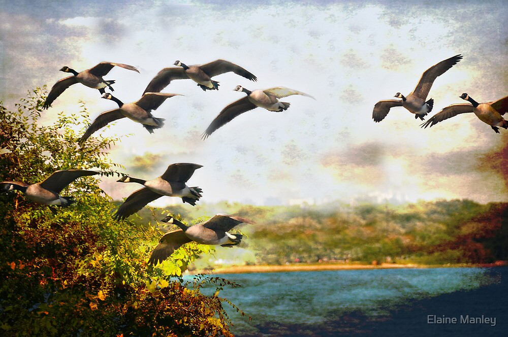 Canadian Geese  by Elaine Manley