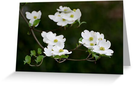 White Dogwood Blooms by DonCondley