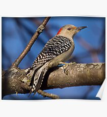 Red Bellied Woodpecker (Alt) Poster