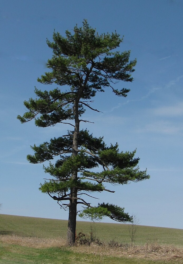 Lone Pine by nikspix
