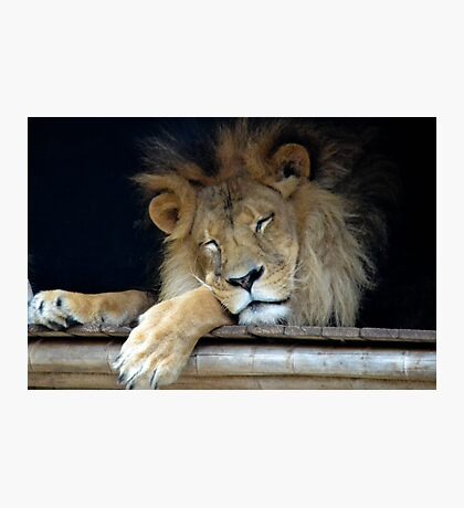 The Lion Sleeps Photographic Print