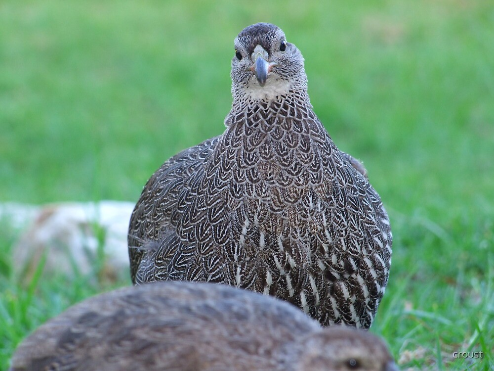 Cape Francolin by croust