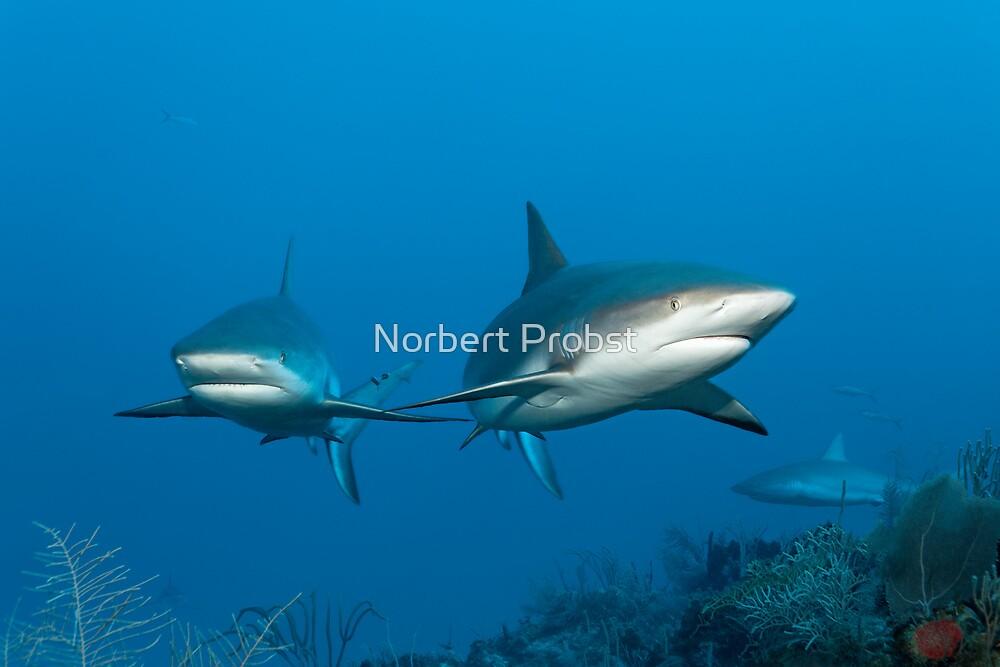 Shark Attack by Norbert Probst