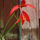 Jacobean Lily  by Jay Armstrong