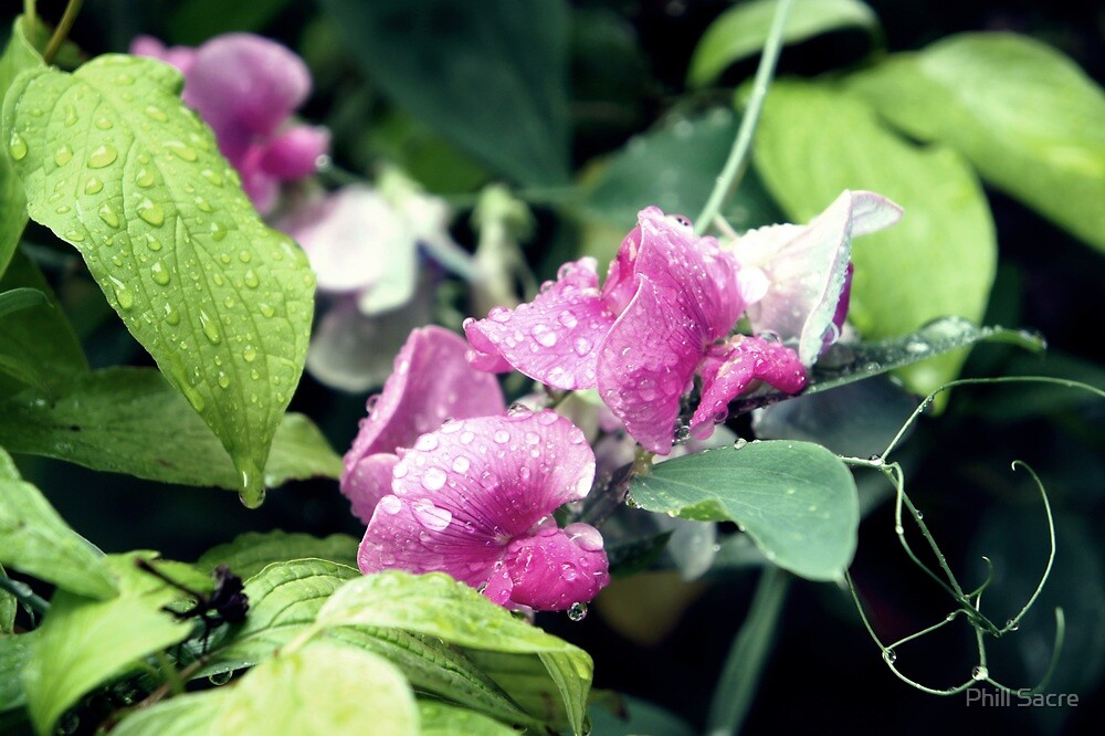 Garden Sweet Peas with Raindrops by Phill Sacre