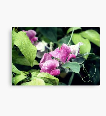 Garden Sweet Peas with Raindrops Canvas Print