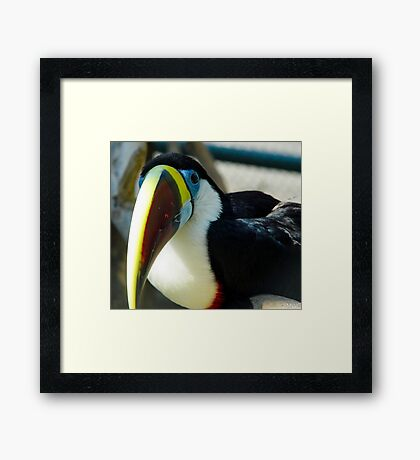 Red-billed Toucan Framed Print