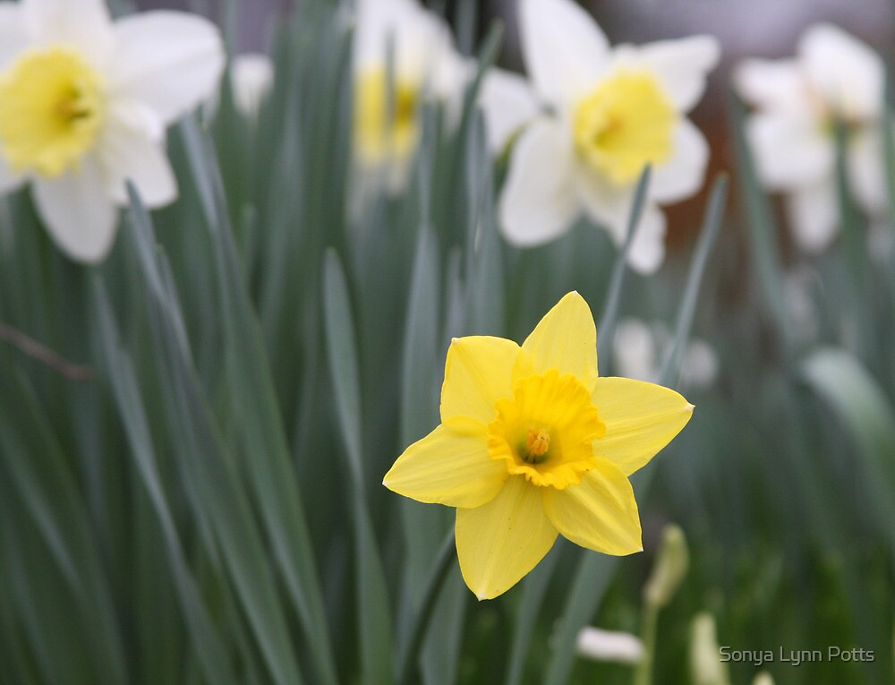 Daffodils Mean Spring Even Though it's Only March! by Sonya Lynn Potts