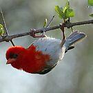 Bird gymnastics-my latest move on the balance beam! by Anthony Goldman