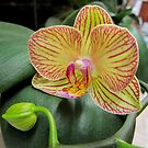 One of my favorite orchids is blooming again! by bubblehex08