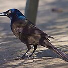 Grackle 1 by Anthony Roma