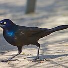 Grackle 2 by Anthony Roma