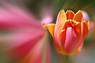 Tulip Flare by Elaine Manley