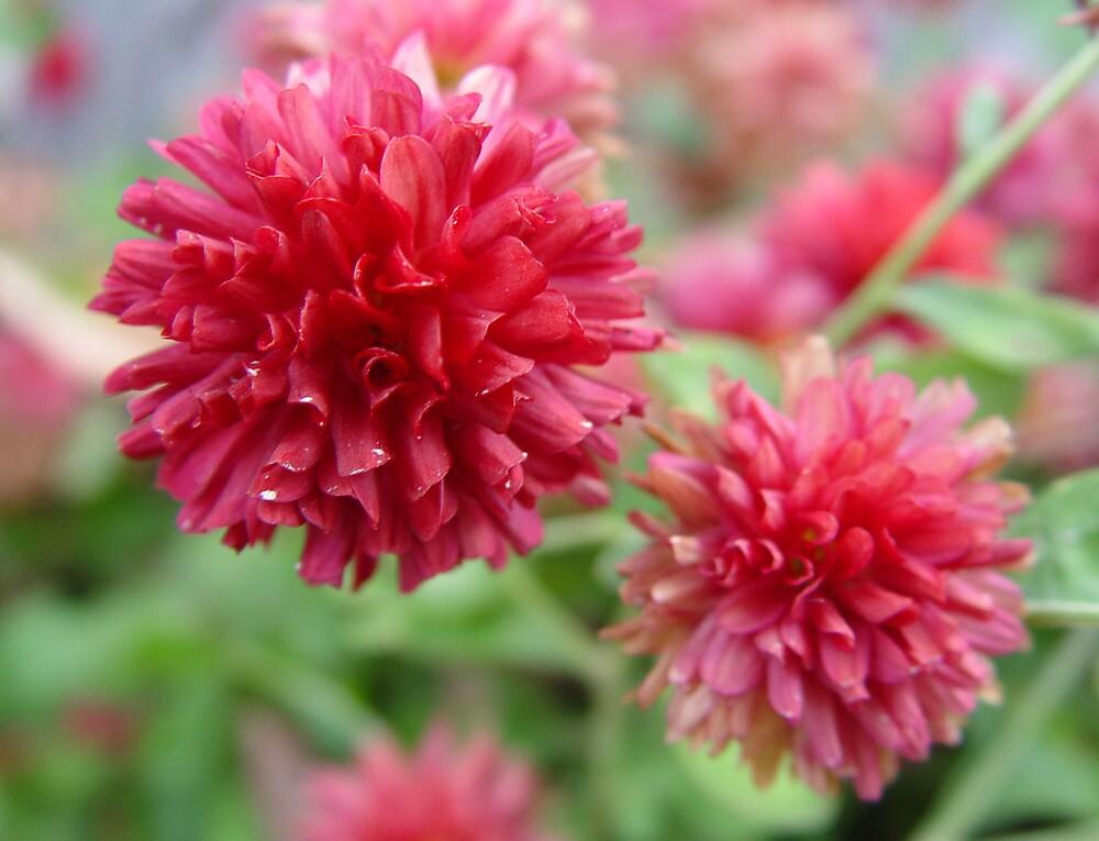 Pretty In Pink by Carolyn  Fletcher