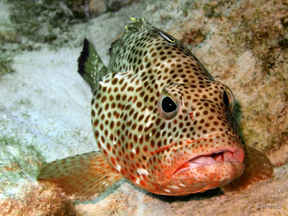 Coral Grouper Being Cleaned by SerenaB