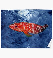 Coral Trout Poster