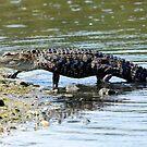 Alligator by vasu