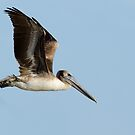 pelican by vasu