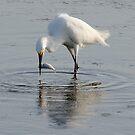 Egret  by vasu