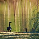 geese in sight  by ANNABEL   S. ALENTON