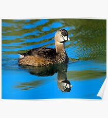 Pied Billed Grebe Poster