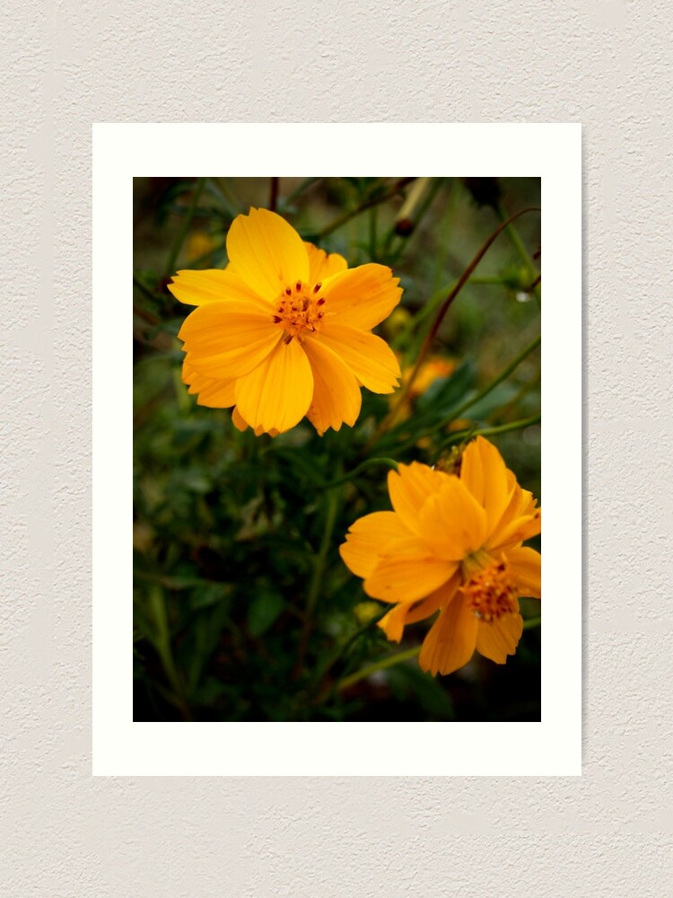 Alternate view of Golden Coreopsis Art Print