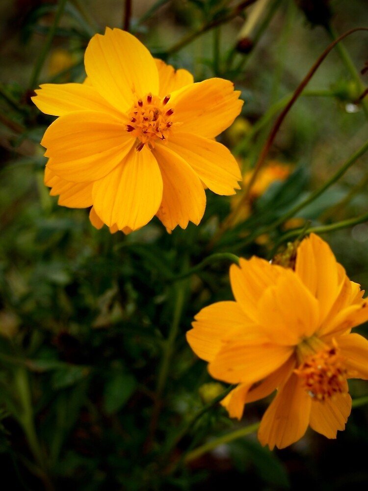 Golden Coreopsis from A Gardener's Notebook by Douglas E.  Welch