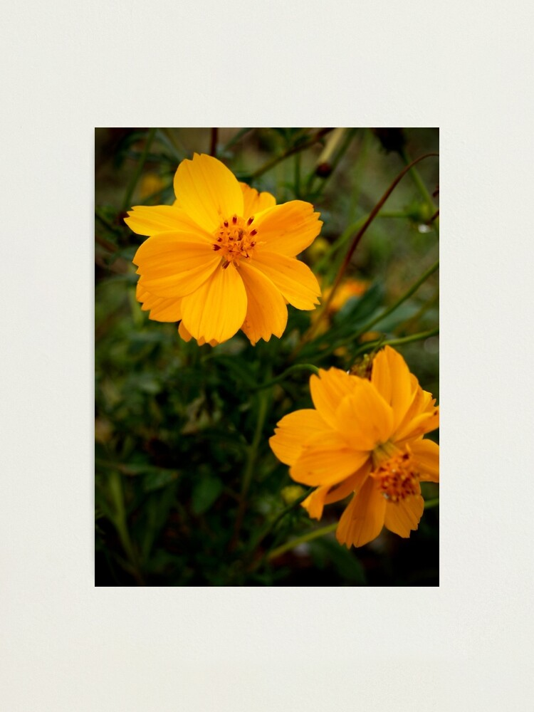 Alternate view of Golden Coreopsis Photographic Print