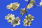 Nothing Blue About Springtime (ONE) by NatureGreeting Cards ©ccwri