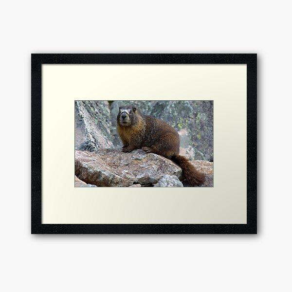 Marmot Framed Art Print
