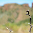 African thorn in the Valley of Desolation by Karen01