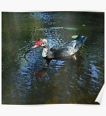 MUSCOVY DRAKE Poster