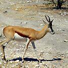 Impala ram by Irene  van Vuuren